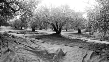 Nets on the ground are ready to receive the olives