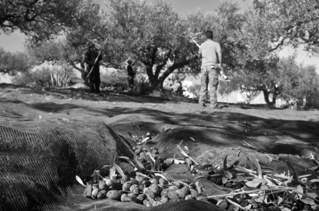Harvesting the olives in one tree, gathering the olives under another tree