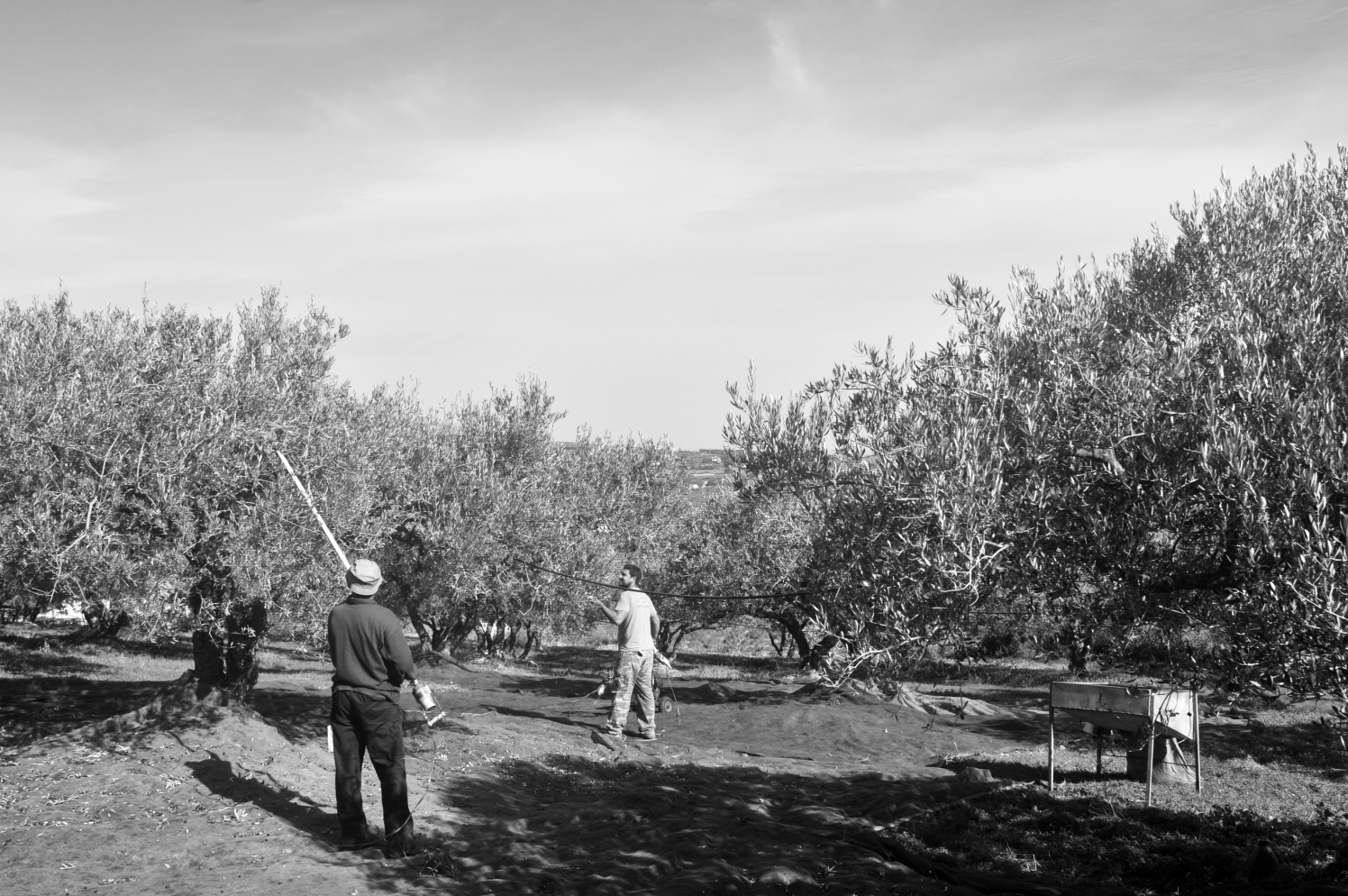 Working in the olives groves