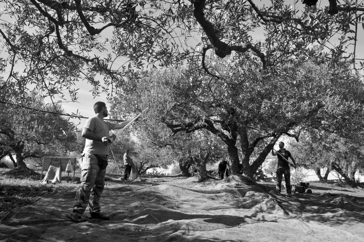 And the work goes on under the long olive branches