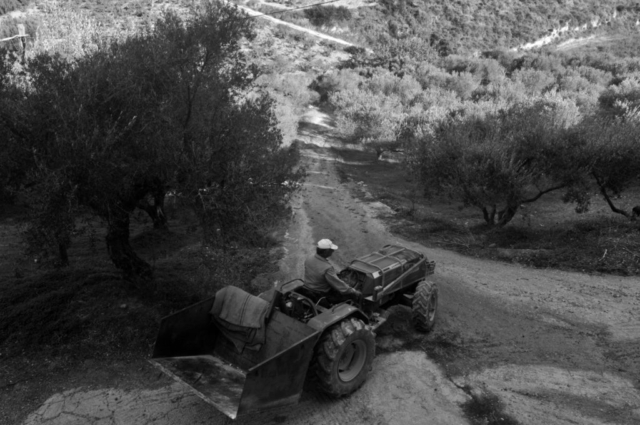 Getting ready to load the olives onto the tractor